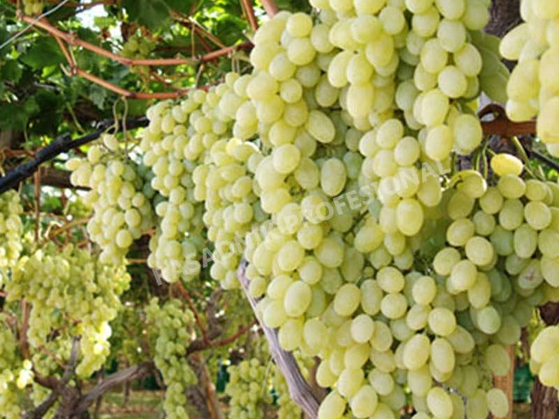 lozni kalem stona kraljica vinograda