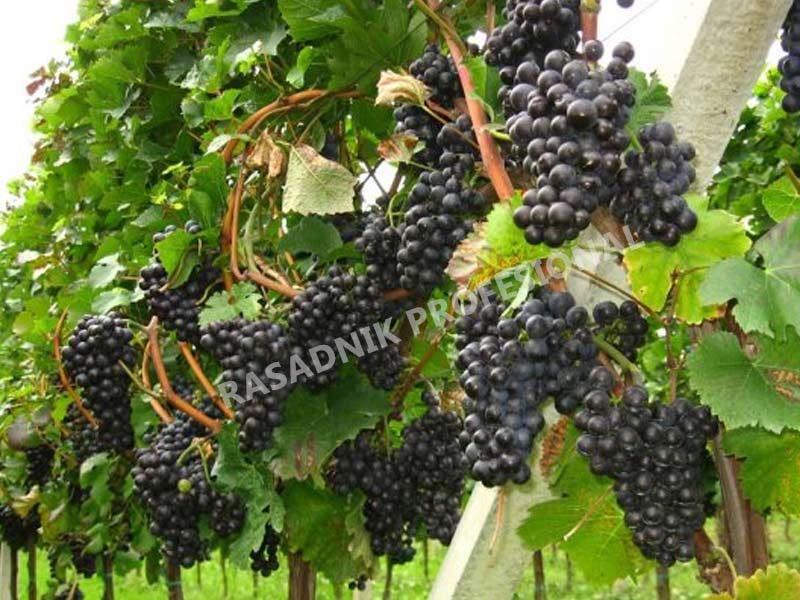 lozni kalem vinske sorte frankovka