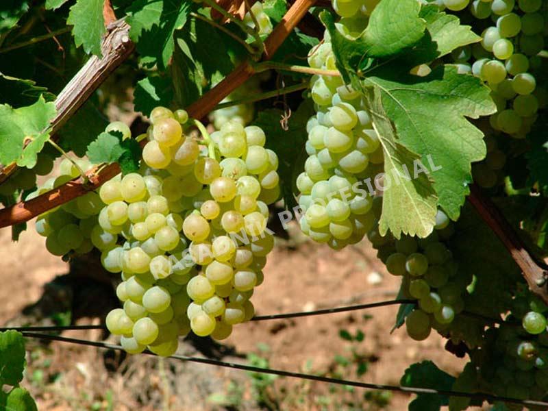 lozni kalem vinske sorte italijanski rizling