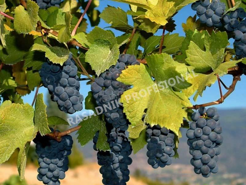 lozni kalem vinske-sorte tamjanika
