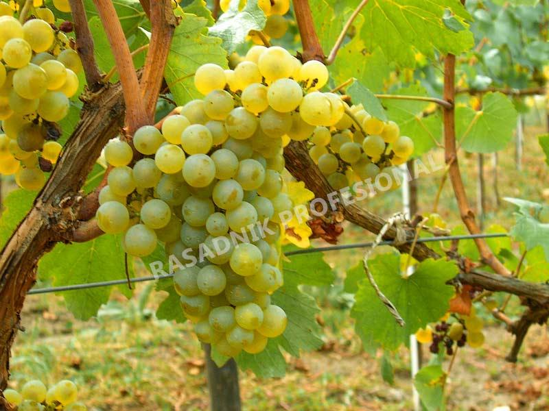 prodaja lozni kalem vinske sorte sardone