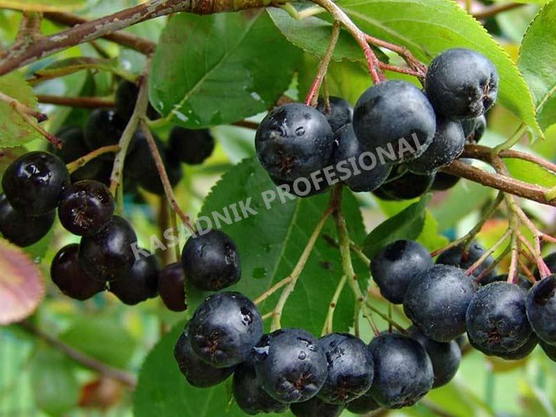 prodaja sadnica aronije melanocarpa