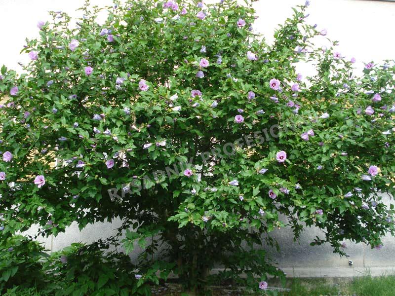 prodaja sadnica hibiskus