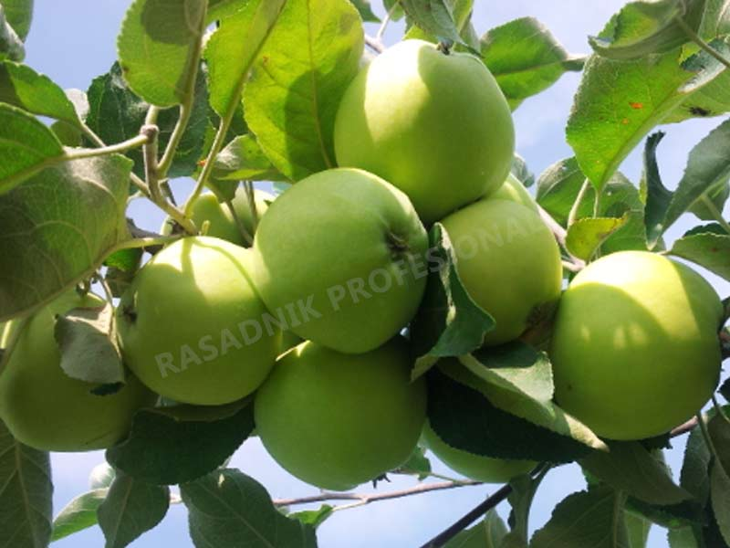 prodaja sadnica jabuka greni smit spur