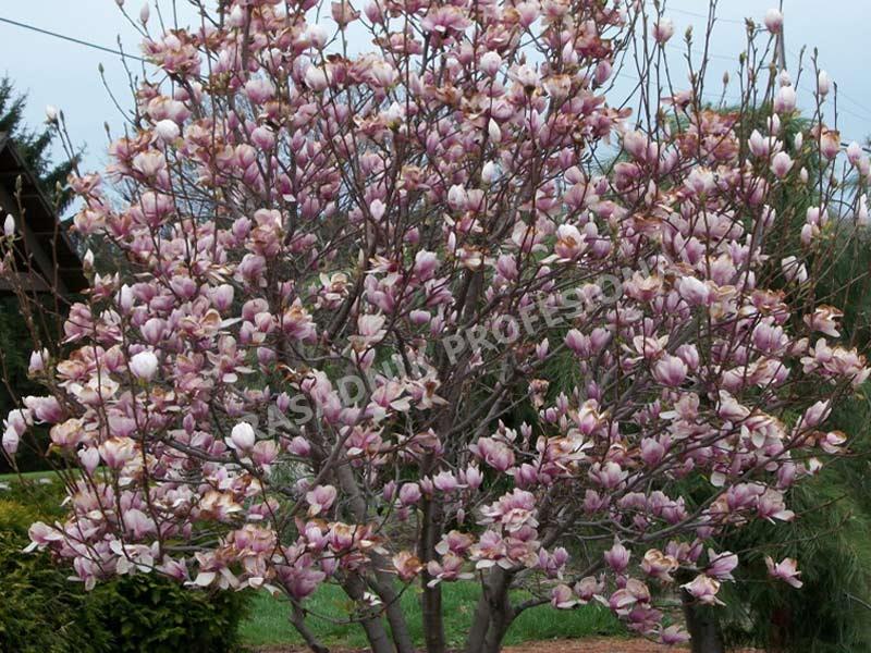 prodaja sadnica magnolija