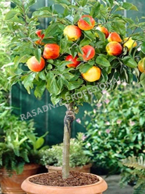 prodaja sadnica patuljsta jabuka