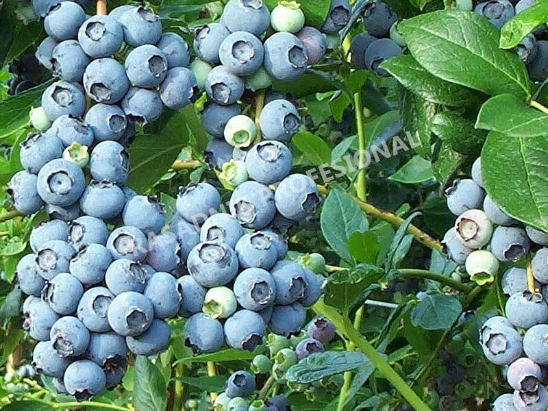 prodaja sadnice borovnice early blue