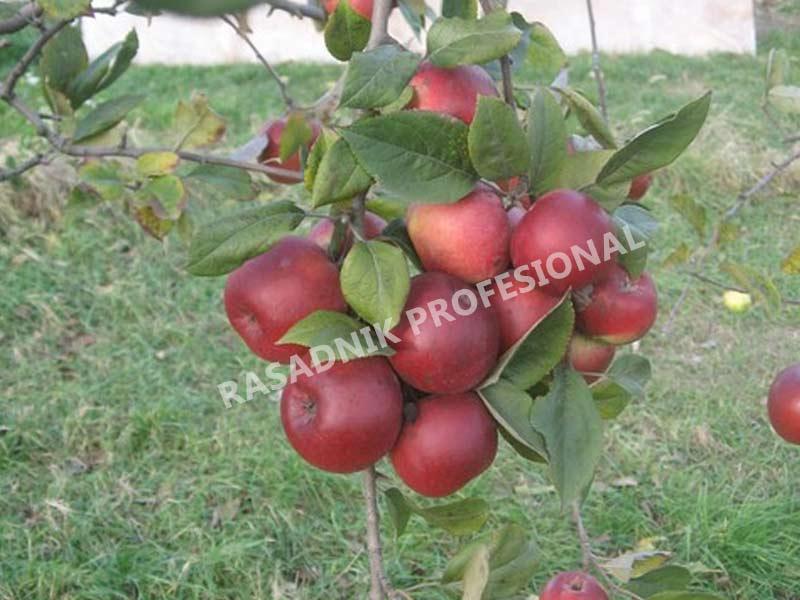 prodaja sadnice jabuke sumatovka