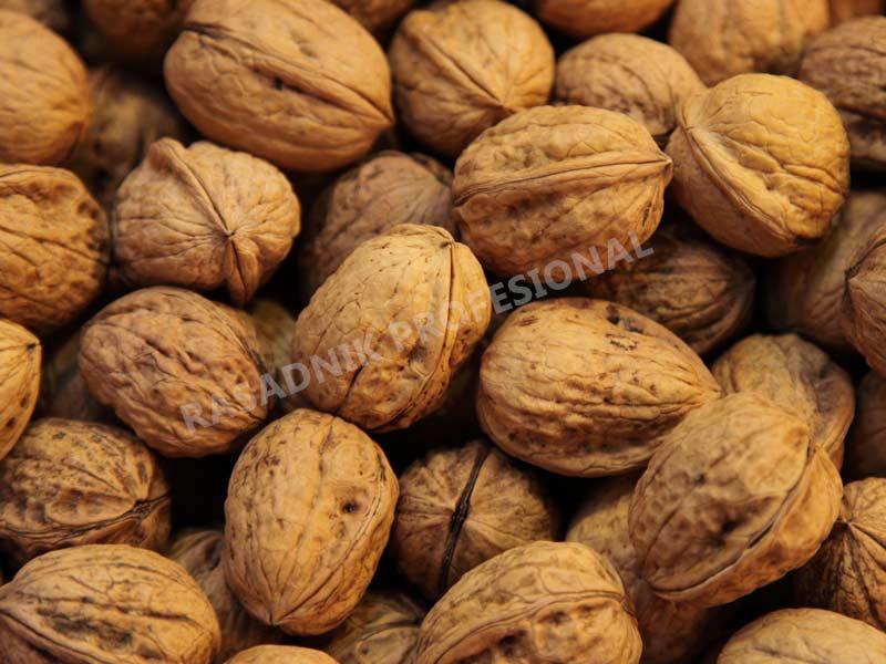 prodaja sadnice oraha g 139