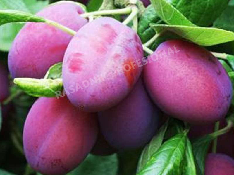 prodaja sadnice sljive avalon