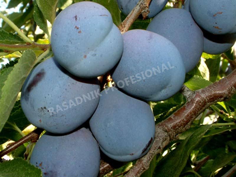 prodaja sadnice sljive kalifornijska plava