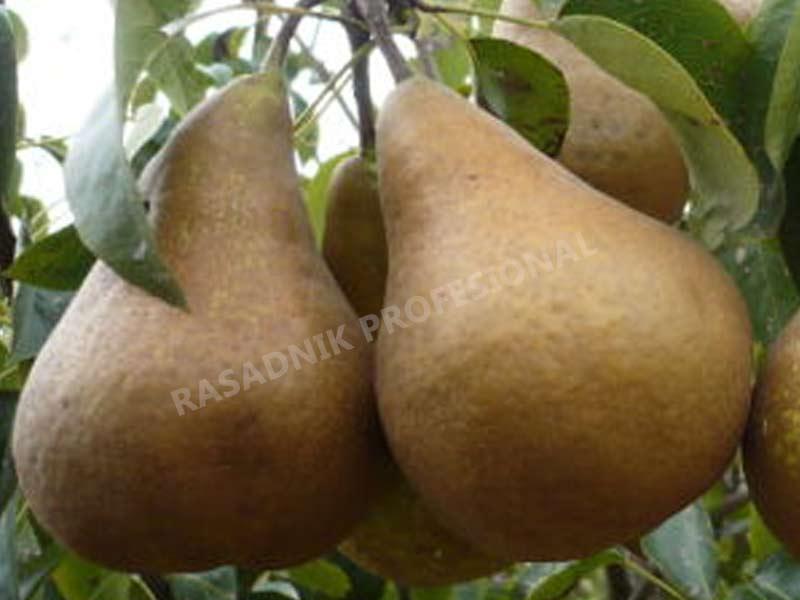 prodaja sadnice voca kruske zimnjaca