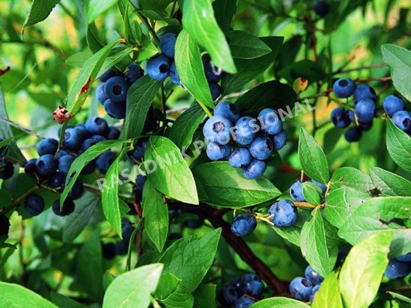sadnice borovnice bluecorp