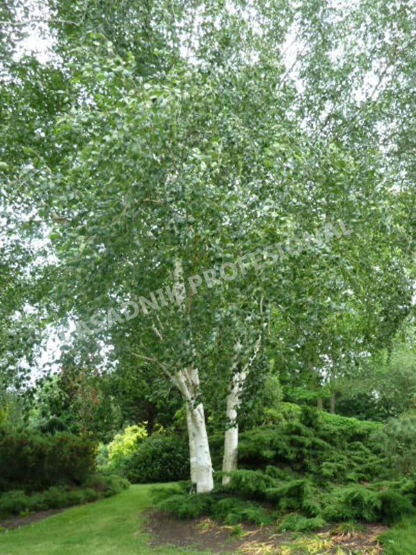 sadnice breza parkovska