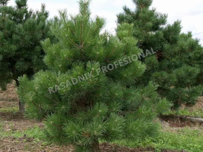 sadnice drveca bor