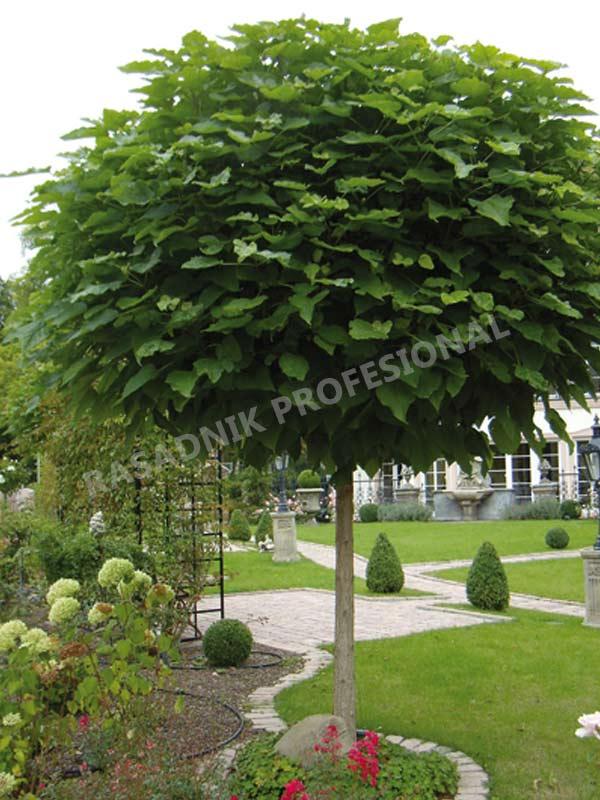 sadnice drveca jasen okruglasti