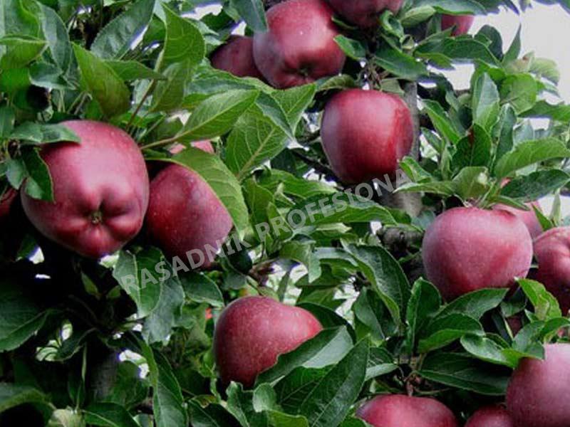 sadnice jabuke crveni delises cham spur