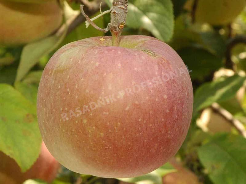 sadnice jabuke fudzi