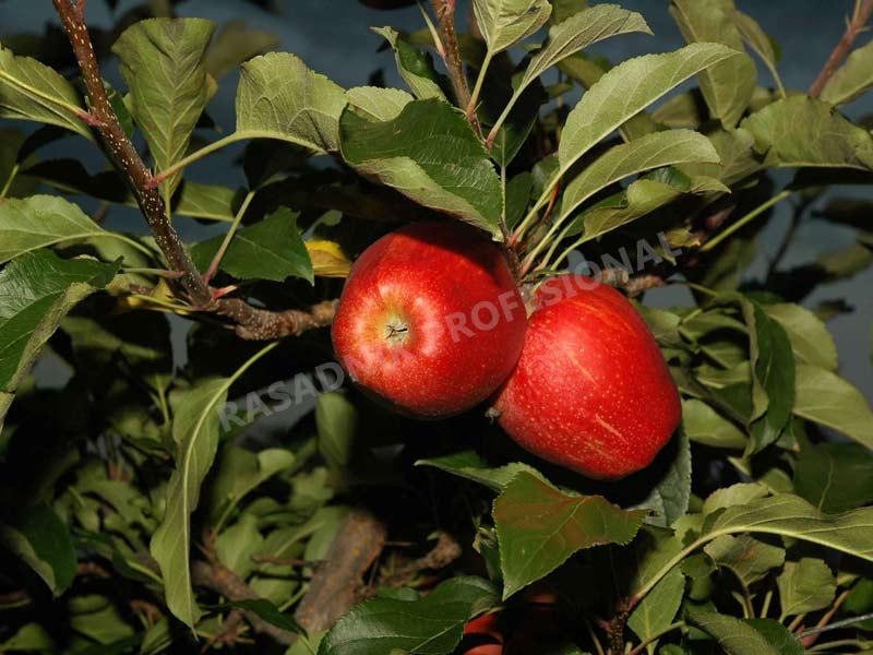 sadnice jabuke gala