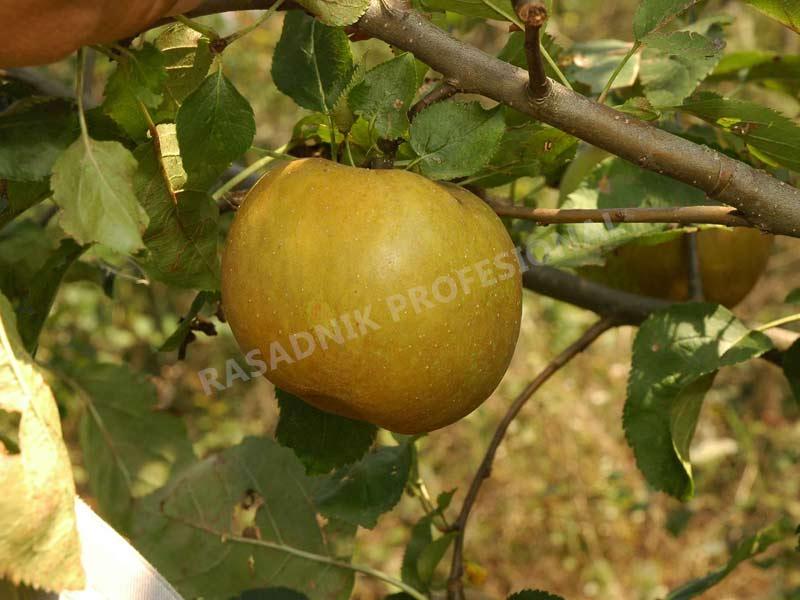 sadnice jabuke kozara