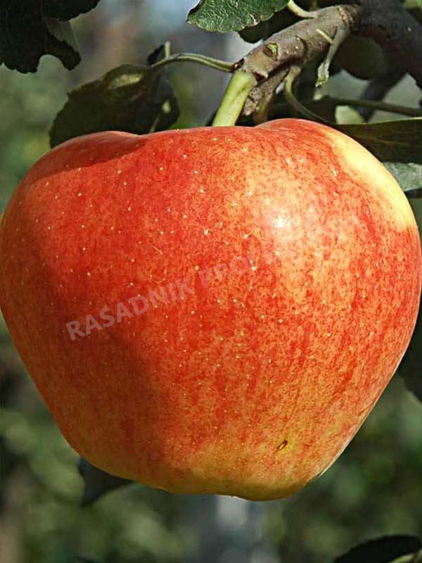 sadnice jabuke melroz