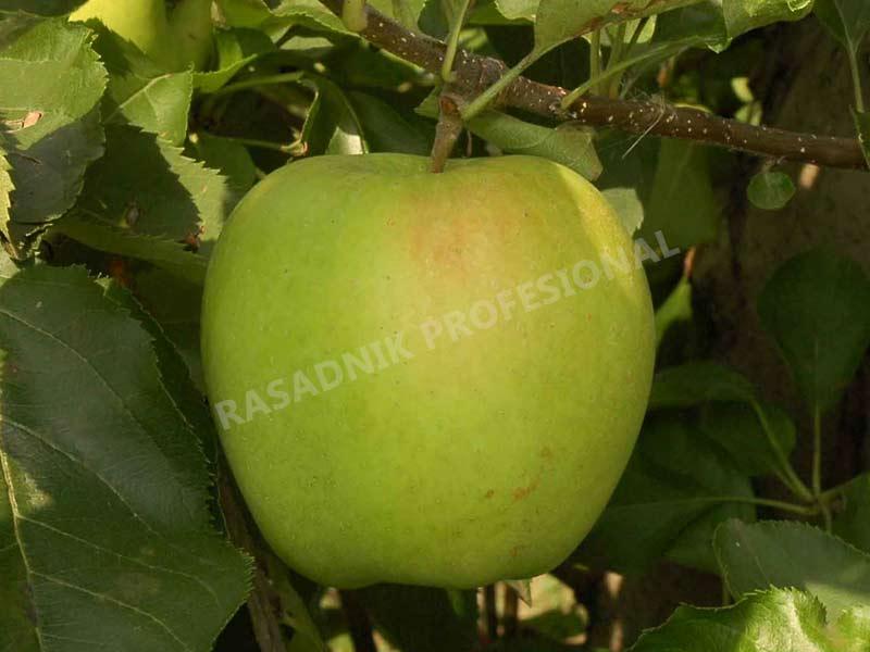 sadnice jabuke mucu