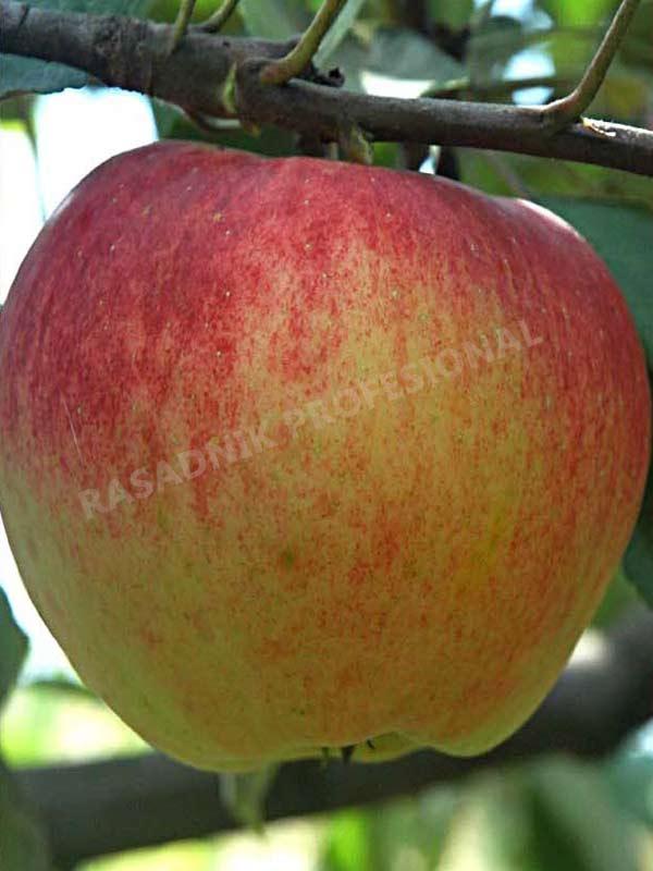sadnice jabuke prima