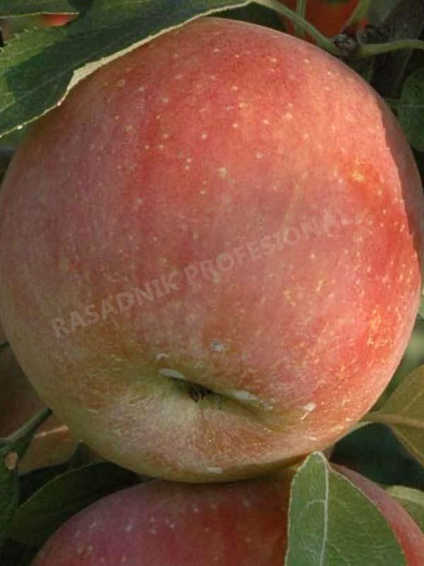 sadnice jabuke sumired