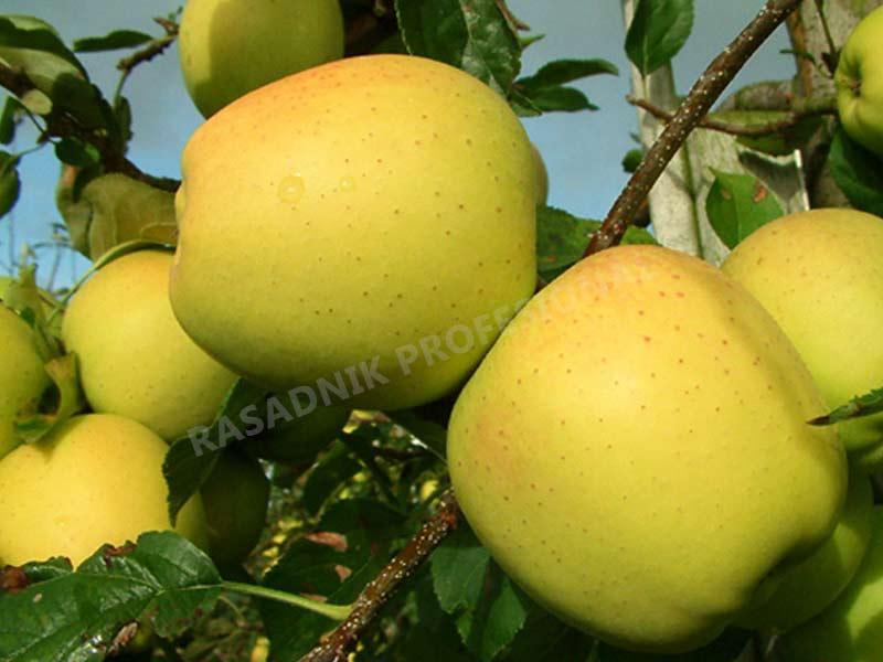 sadnice jabuke zlatni delises klon b