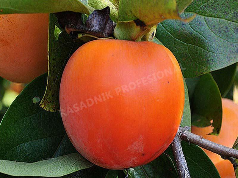 sadnice japanske jabuke kaki tipo