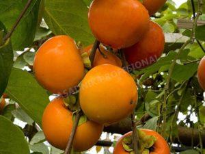 sadnice japanske jabuke kaki vanilija