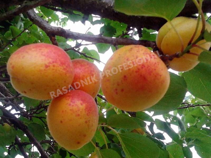 sadnice kajsije novosadska kasnocvetna
