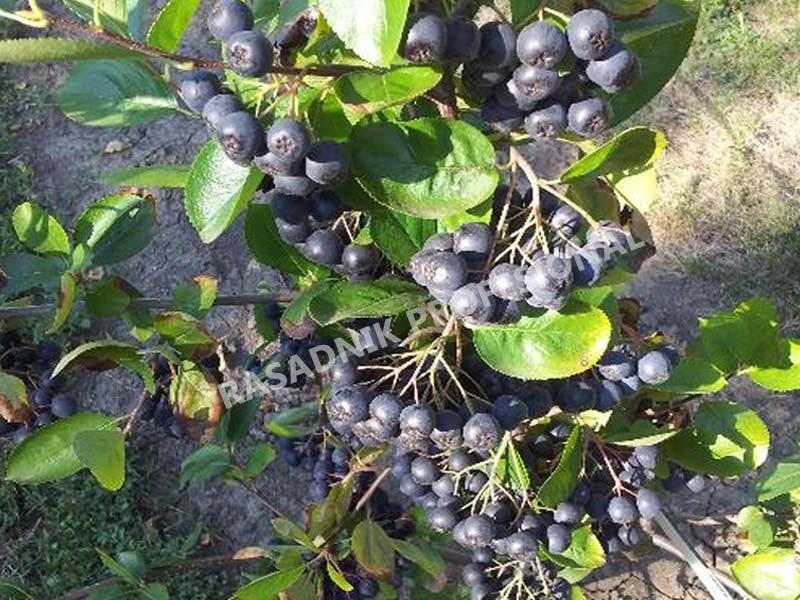 sadnice kalemljene aronije