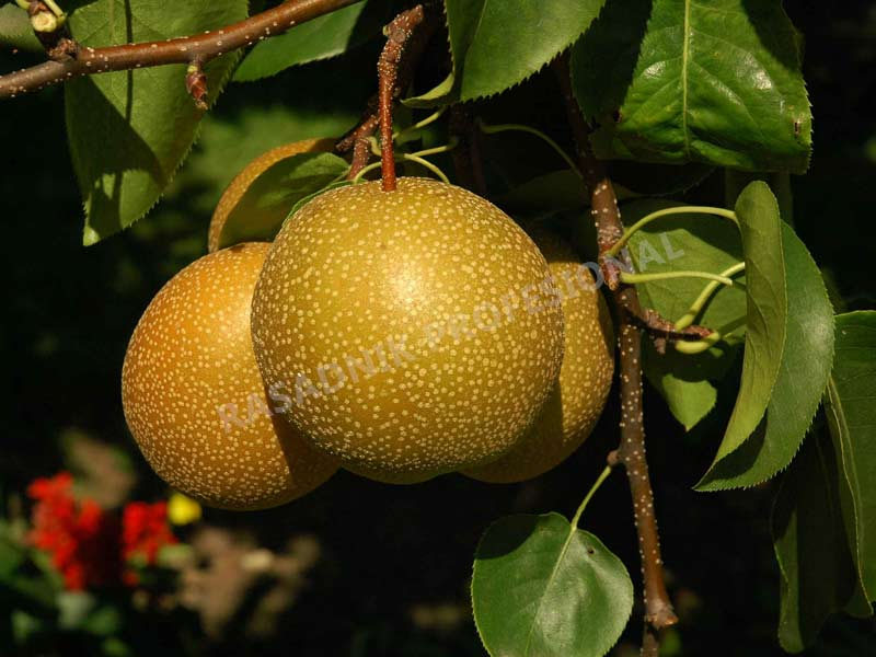 sadnice kruske japanska kruska kumoi