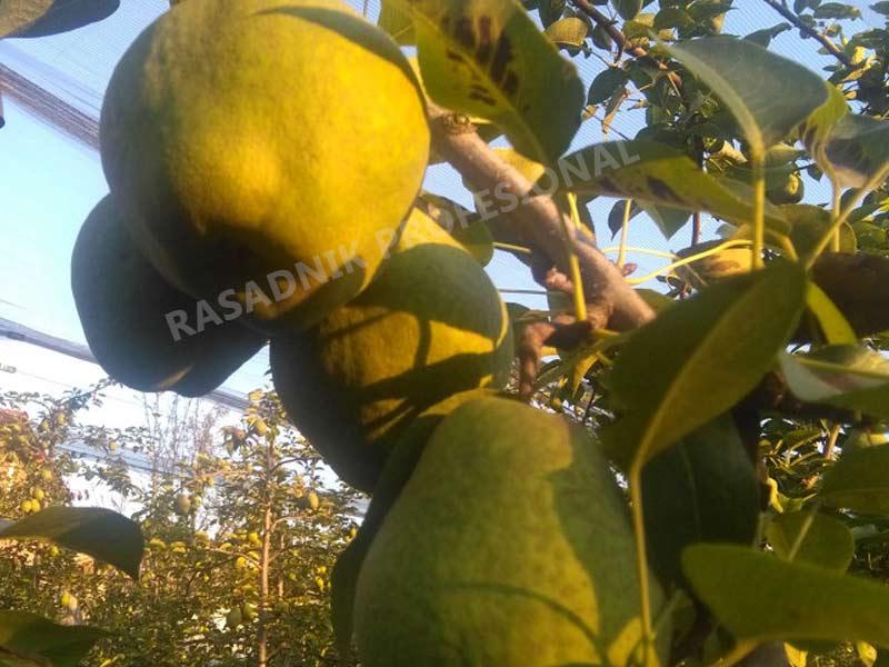 sadnice kruske kiferova citronka