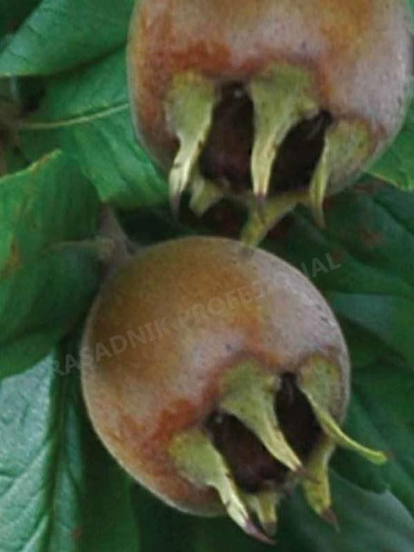 sadnice mmusmule domaca