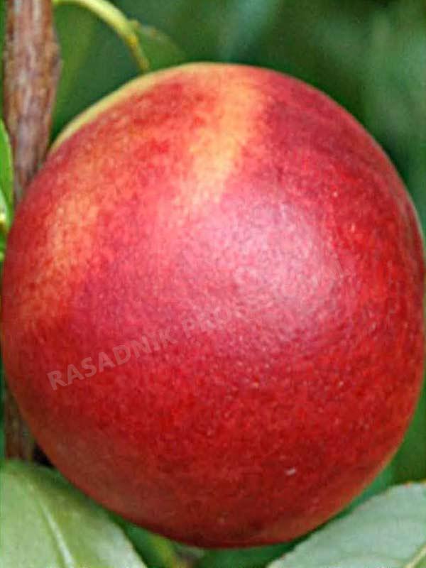 sadnice nektarine indipendens