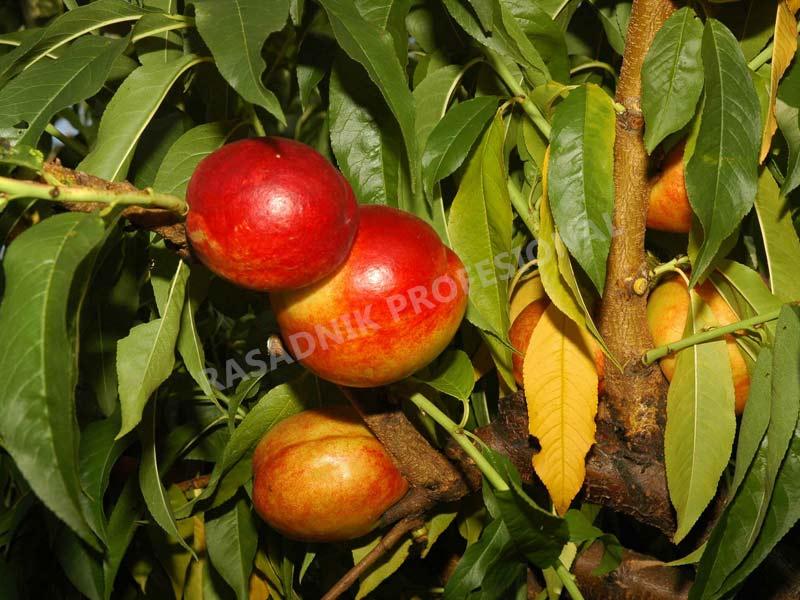 sadnice nektarine stark red