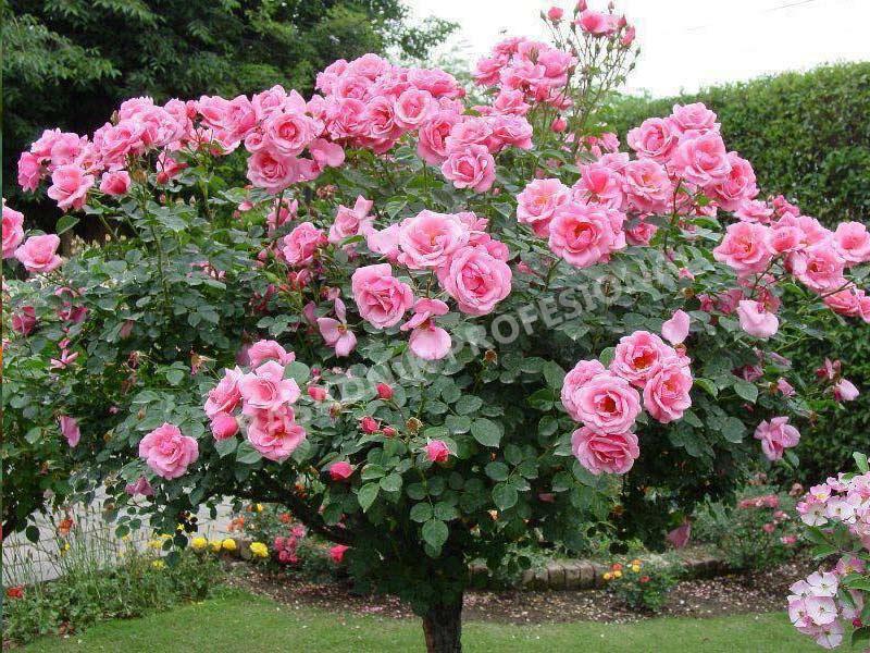 sadnice ruze stablasice