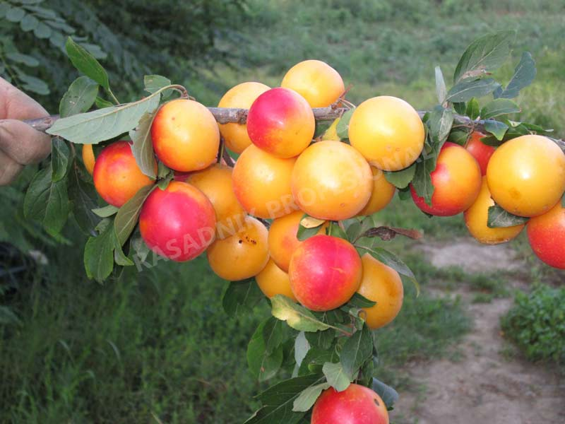 sadnice sljive ruska