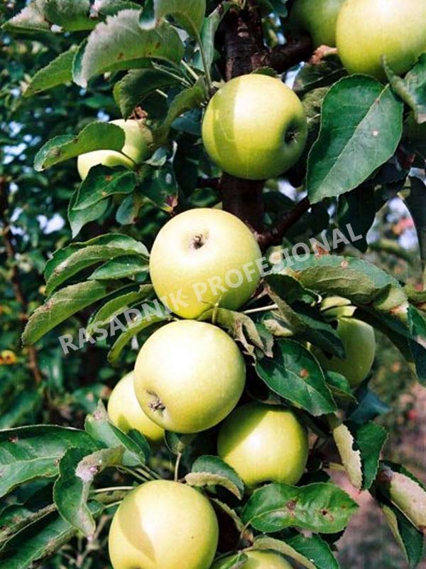 sadnice stubaste jabuke djerdan