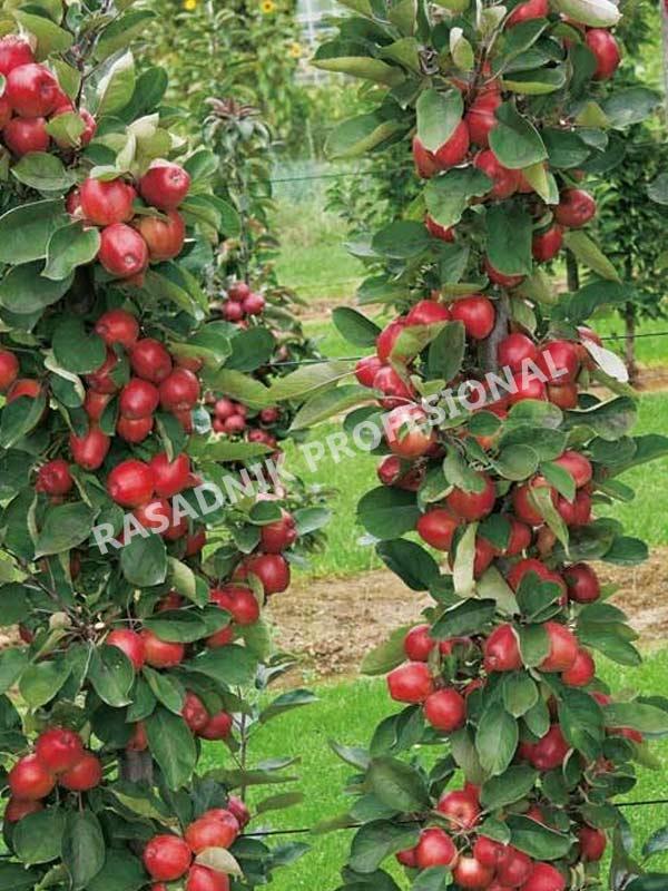 Sadnice stubaste jabuke rumeno vreteno