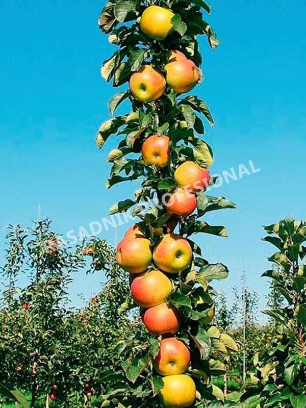 sadnice stubaste jabuke vesna
