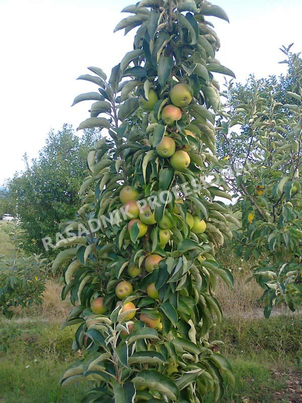 sadnice stubaste jabuke zeleni dragulj