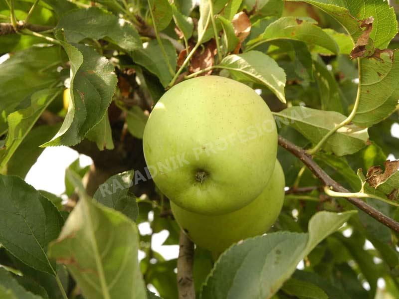 sadnice voca jabuke zlatni delises
