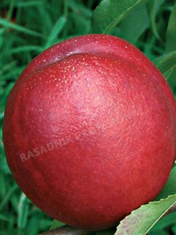 sadnice voca nektarine fantazija