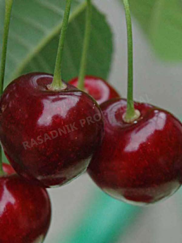 sadnice voca tresnje germerzdofrska