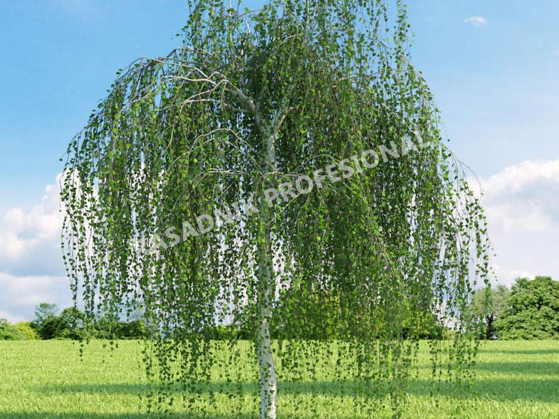 sadnice zalosna breza