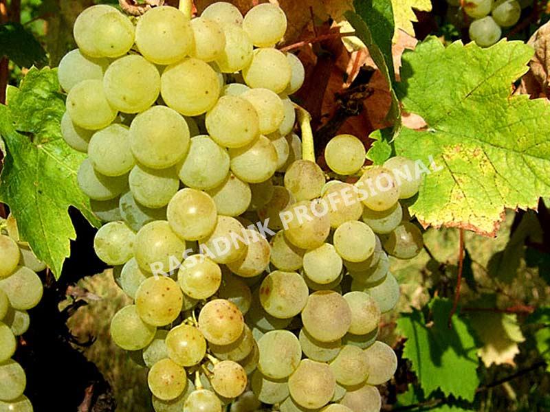 vinova loza vinske sorte smederevka