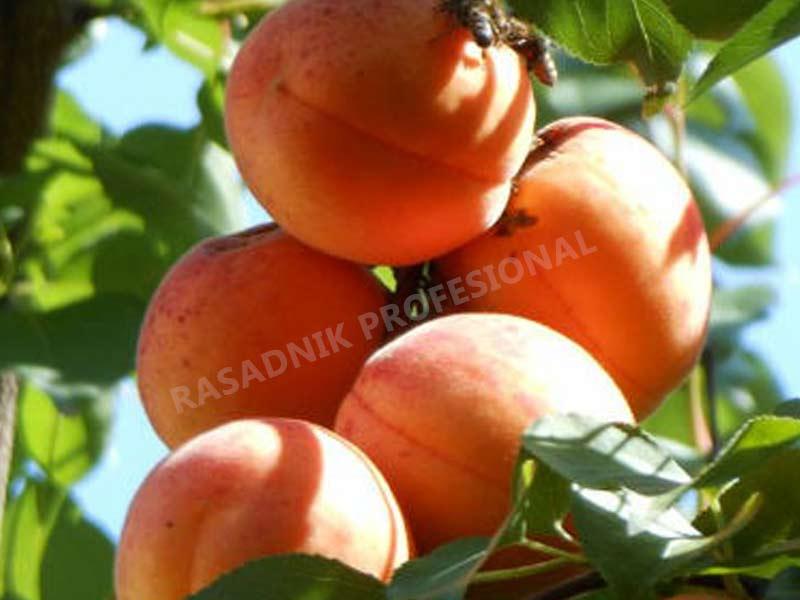vocne sadnice kajsije novosadska rodna